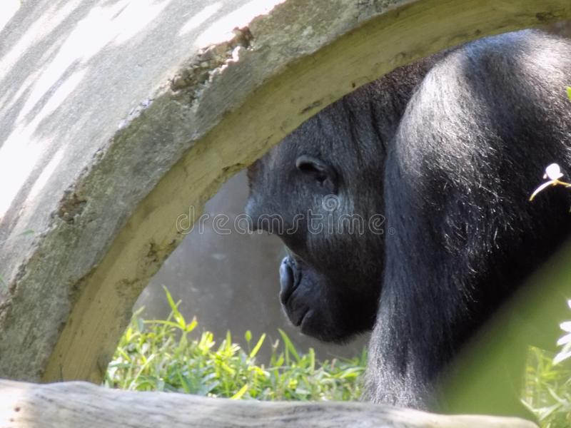 Gorille de dissimulation photos libres de droits
