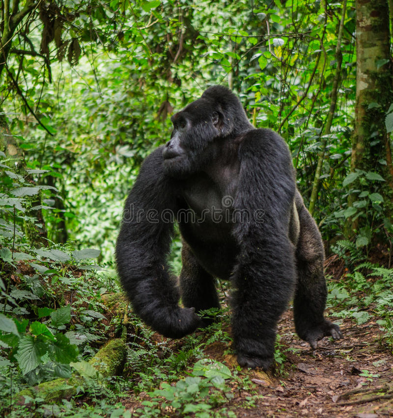 Gorille de montagne masculin dominant dans la forêt tropicale Ouganda Bwindi Forest National Park impénétrable photos stock