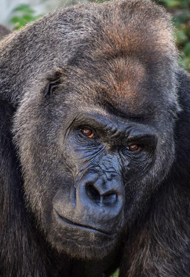 Download Gorille de plaine image stock. Image du animaux, lowland - 77160849
