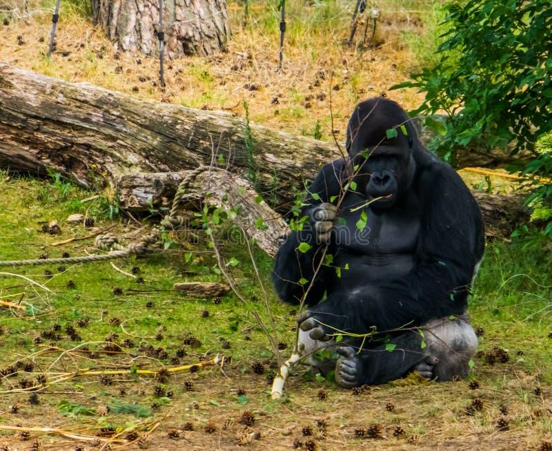 Gorille de plaine occidentale mangeant d'une branche d'arbre, espèce en critique mise en danger de primat d'Afrique photo libre de droits