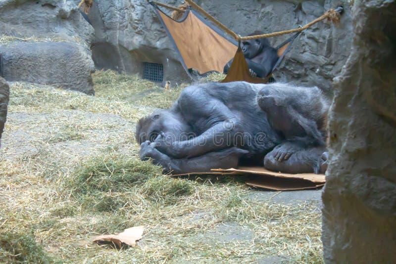 Gorille de plaine occidentale vérifiant ses doigts image libre de droits
