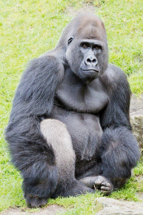 Gorille de Silverback photo stock