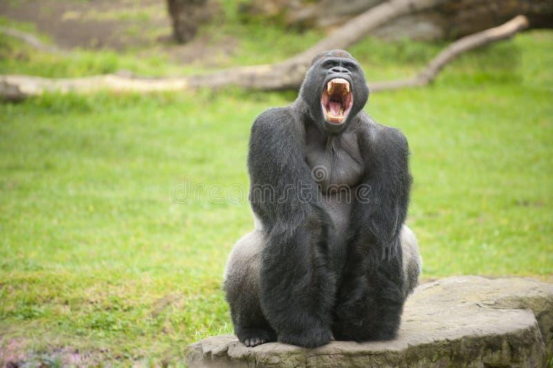 Gorille de Silverback montrant des dents photographie stock libre de droits