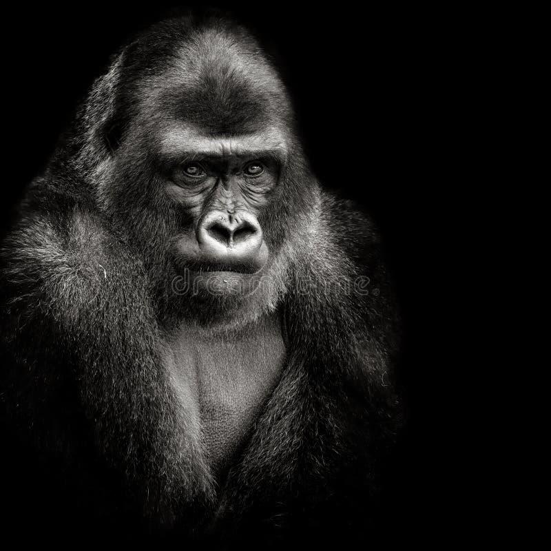 Gorille de terre en contre-bas occidentale images libres de droits