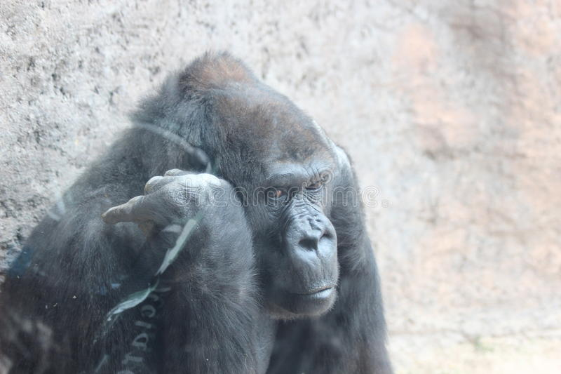 Gorille de Throughtful photographie stock