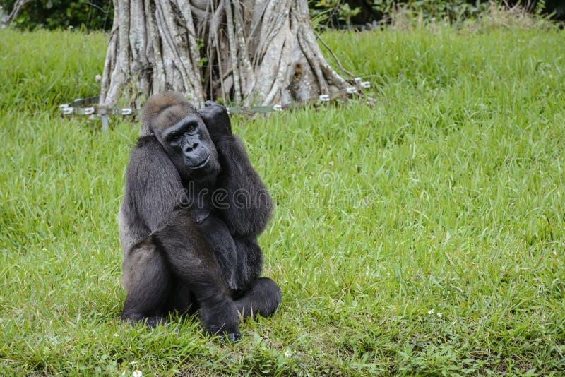 Gorille de zoo de Miami dans un domaine d'herbe verte images libres de droits
