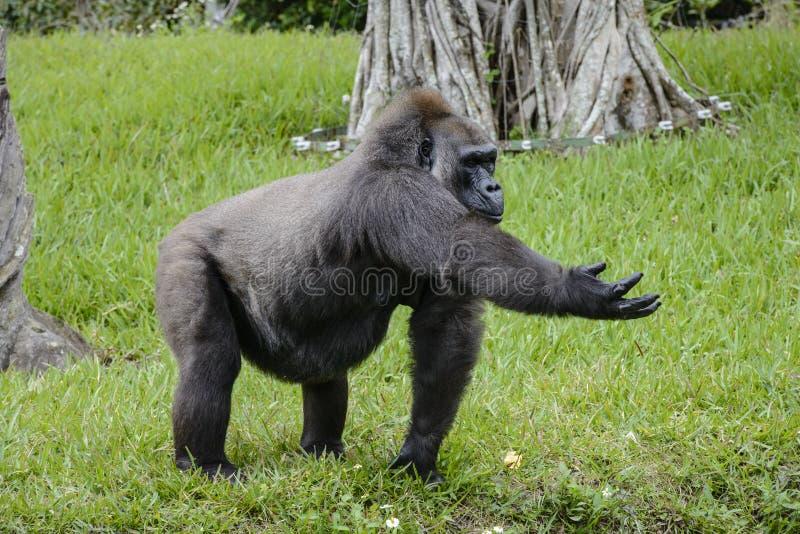 Gorille de zoo de Miami dans un domaine d'herbe verte photos stock
