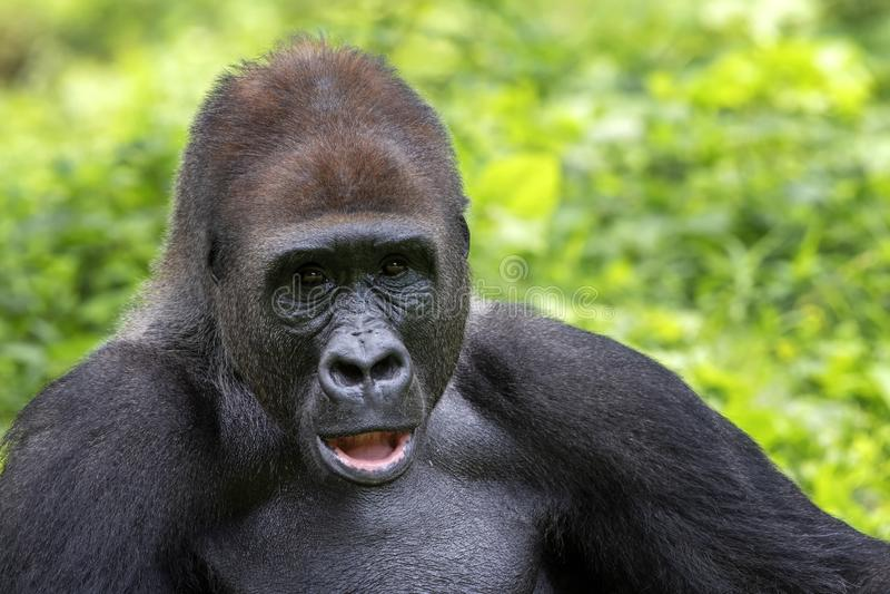 Gorille Des Plaines Occidentales Portrait (Gorilla Gorilla Gorilla) En  Captivité. National Zoo. Washington DC, Etats-Unis. Banque D'Images Et  Photos Libres De Droits. Image 12506543.