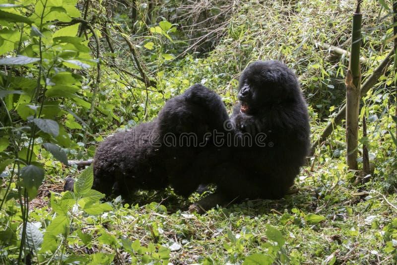 Gorille di montagna che combattono nel parco nazionale dei vulcani, Virunga, immagine stock libera da diritti