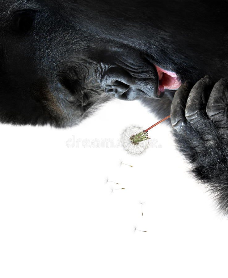 Gorille effectuant un souhait, d'isolement sur le fond blanc image stock