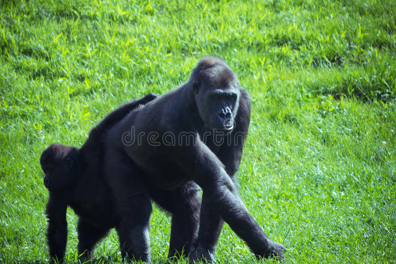 Gorille et chéri photo stock