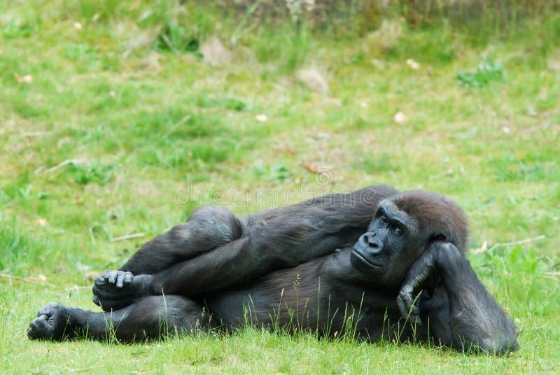 Gorille femelle photos stock