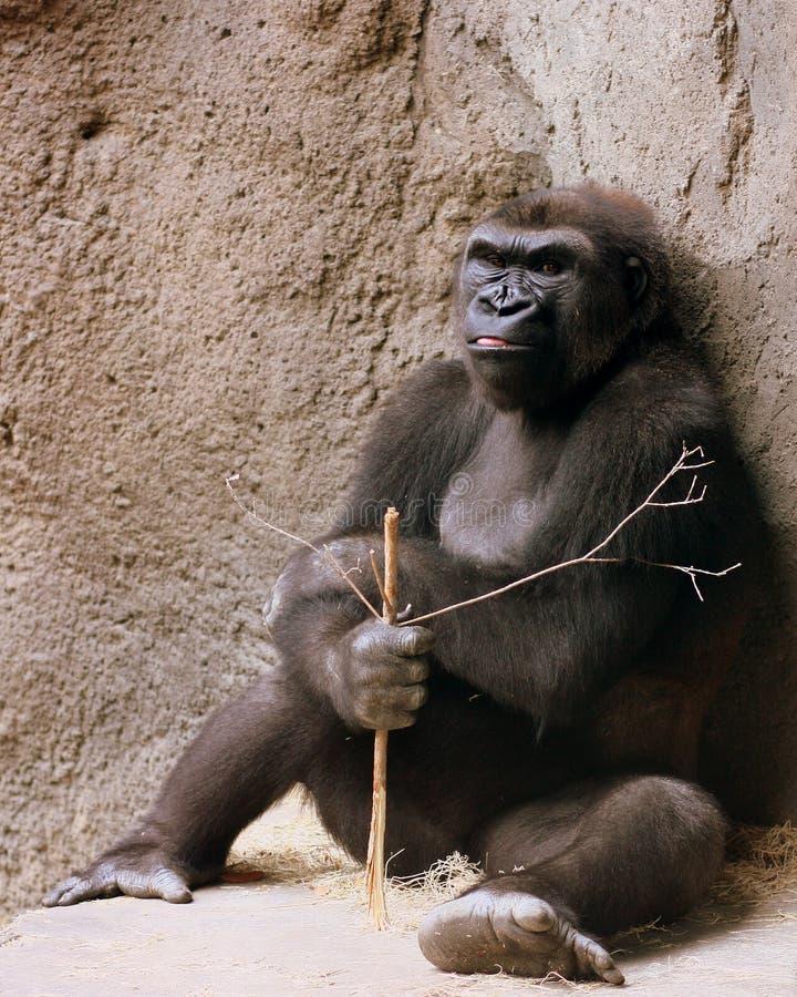 Gorille grincheux images libres de droits