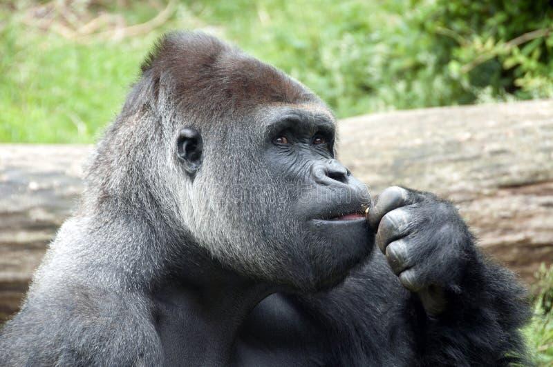 Gorille le penseur photographie stock