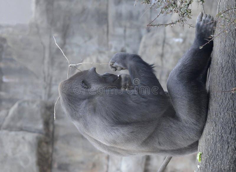 Gorille mâle et un bâton photographie stock