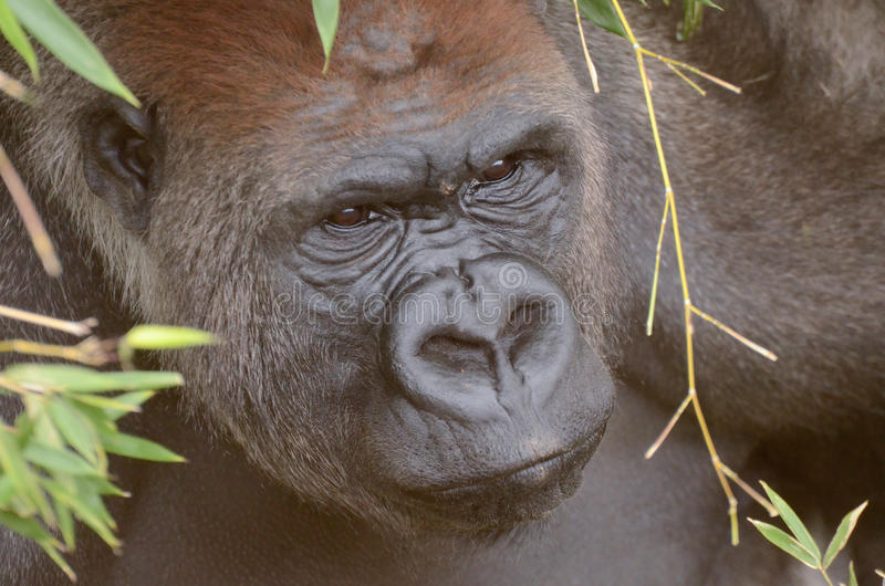 Gorille mâle hiding2 photographie stock
