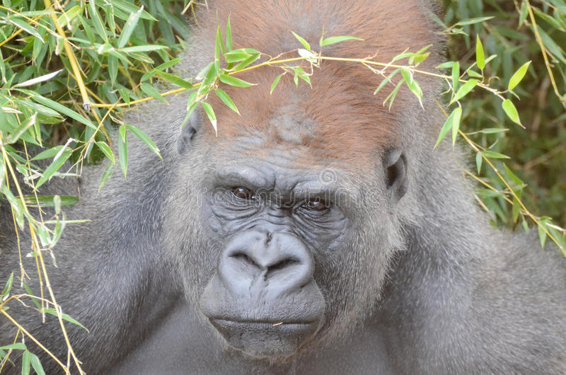 Gorille mâle hiding3 photo stock