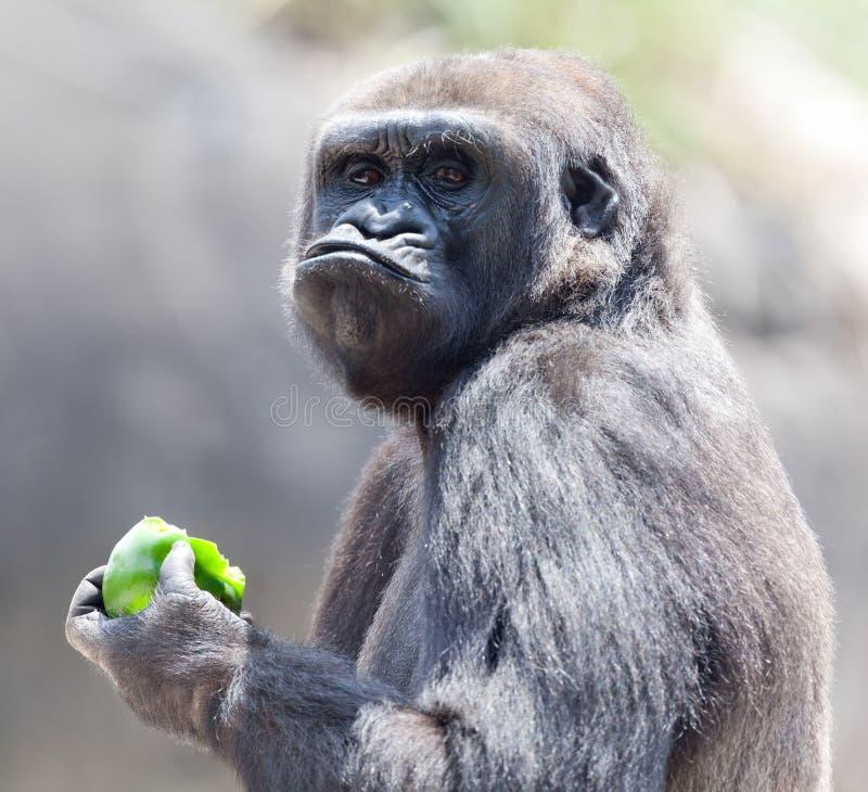 Gorille mangeant la pomme images libres de droits
