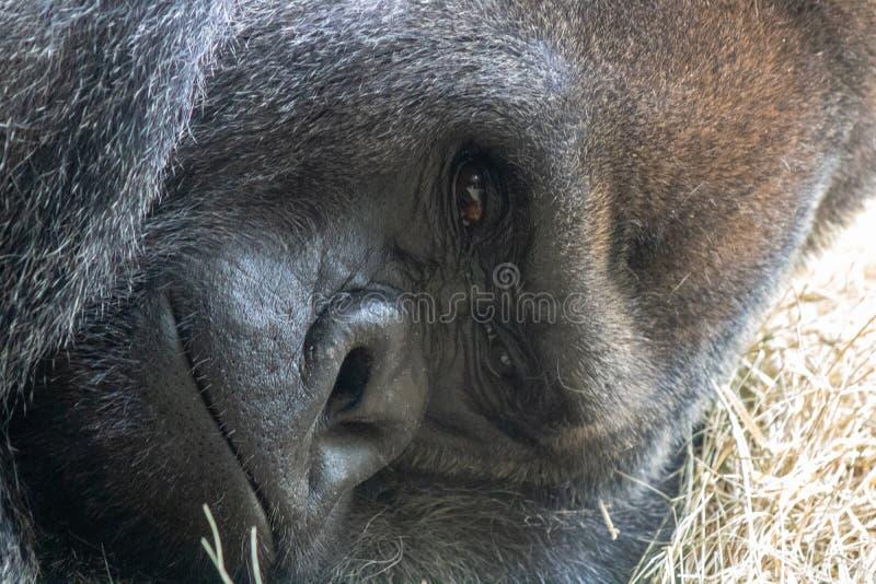 Gorille masculin photo stock