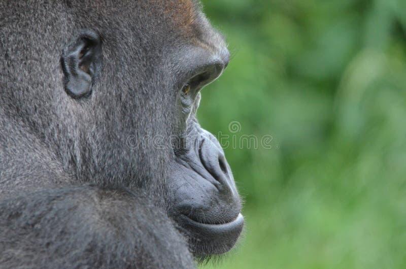 Gorille masculin 3 photographie stock libre de droits