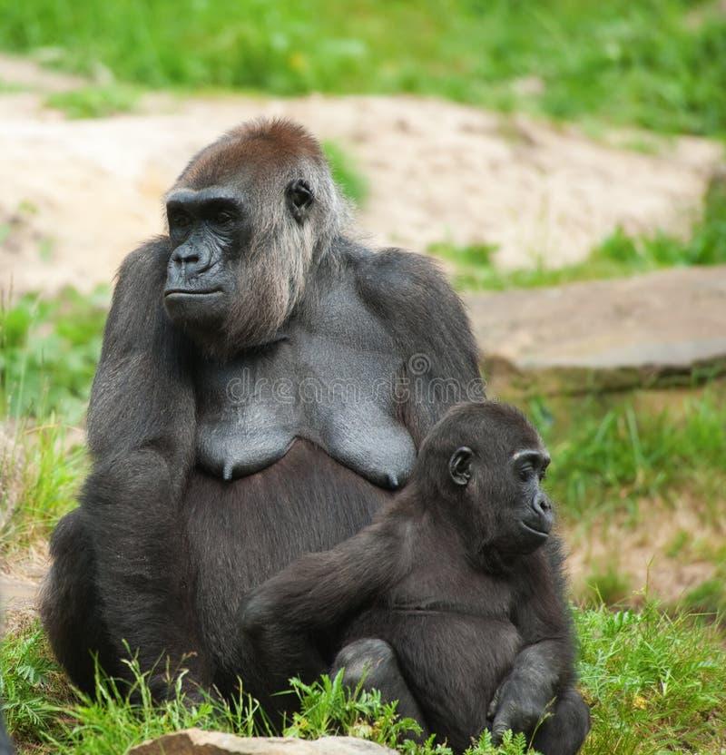 Gorille mignon de chéri et de mère photo libre de droits