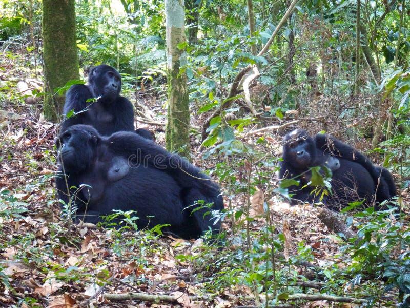 Gorille nell'Uganda immagini stock libere da diritti