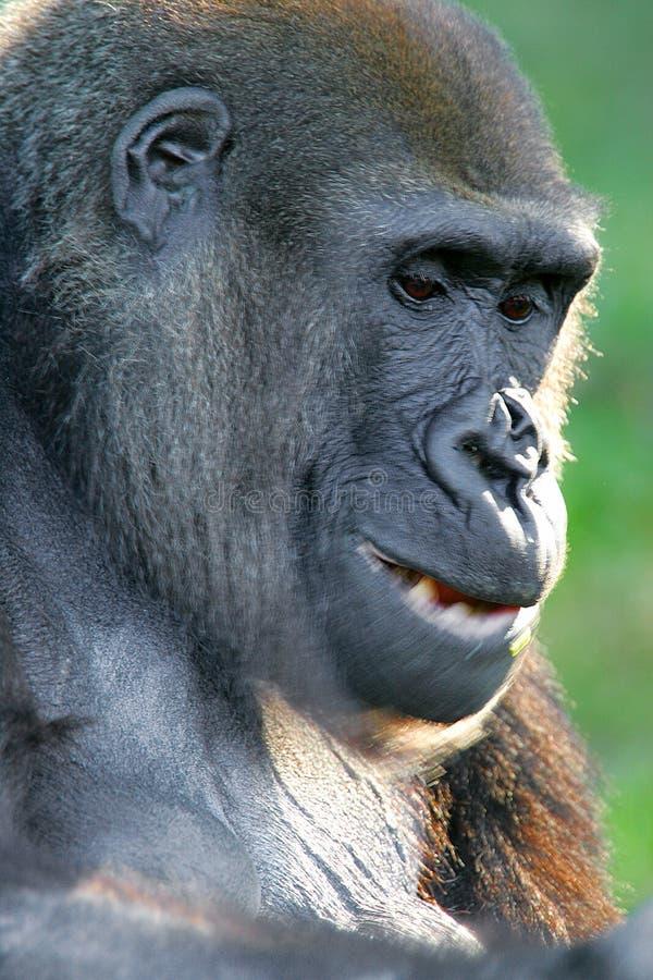 Download Gorille Occidentali Della Pianura Immagine Stock - Immagine di animale, wildlife: 7322291