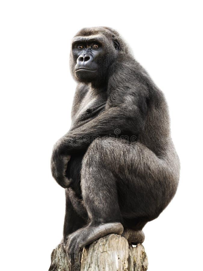Gorille sur le joncteur réseau d'arbre, d'isolement photo stock