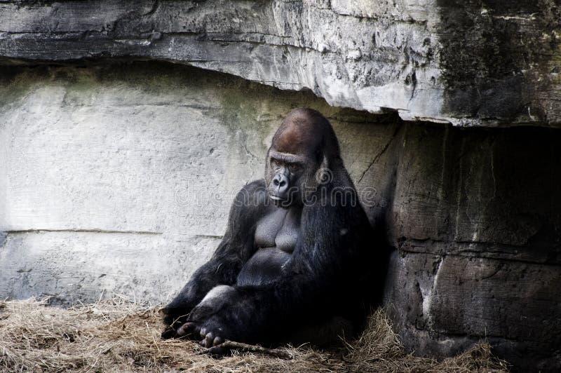gorillla стоковые фото