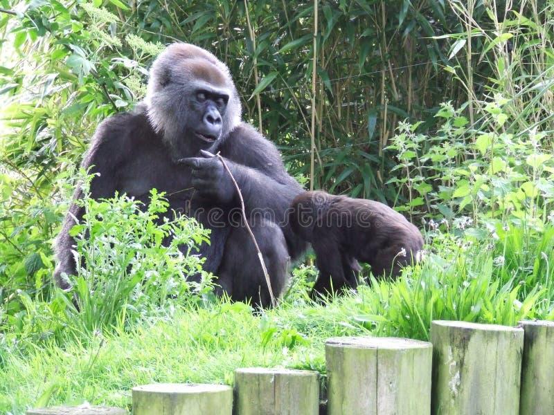 gorillor royaltyfri bild