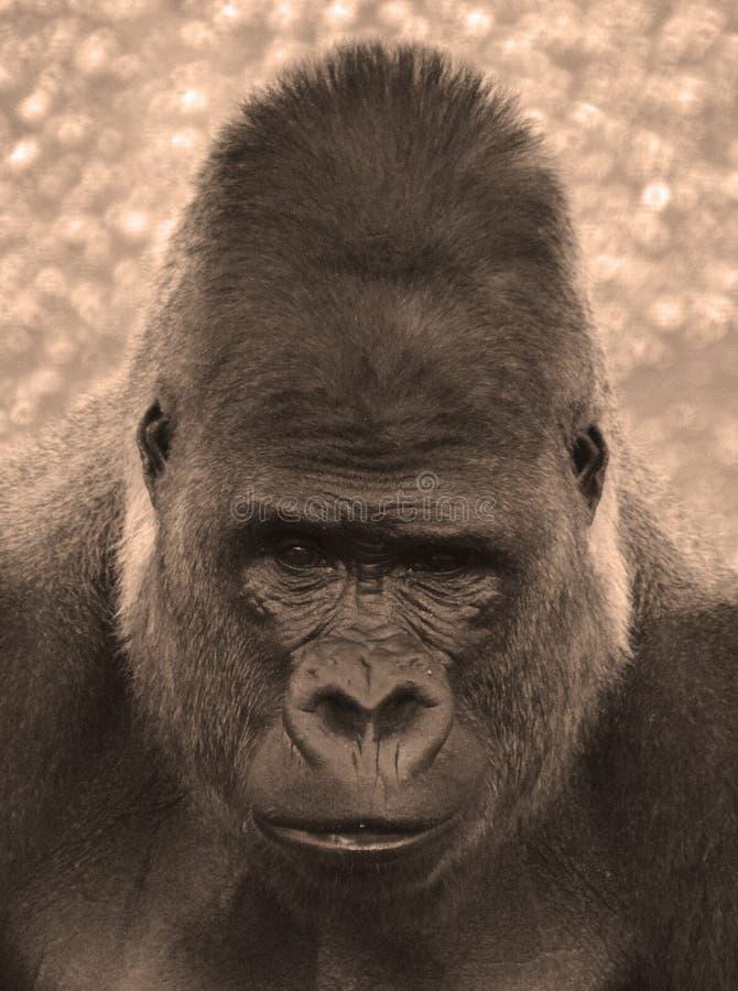 gorillor arkivbild