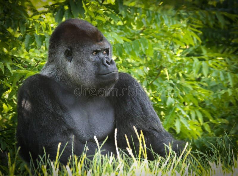Gorillor ?r mala-boningen, huvudsakligen v?xt?tande apor royaltyfria bilder