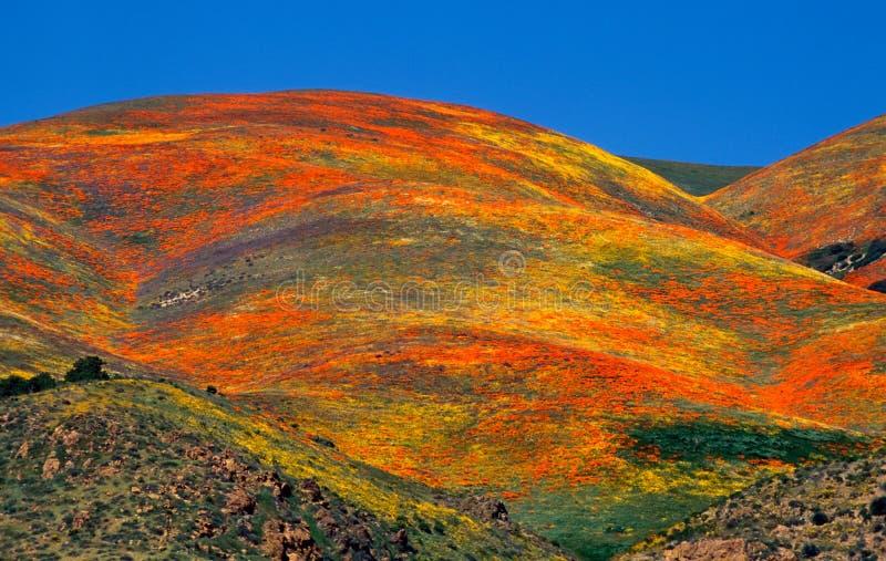 Download Gorman Wildflowers stock photo. Image of orange, mountains - 25921048