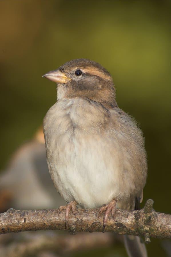 Download Gorrión imagen de archivo. Imagen de ornitología, fondo - 7283215
