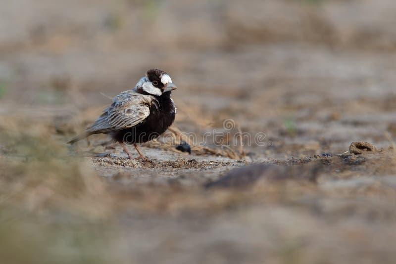 Gorrión-alondra Negro-coronada - nigriceps de Eremopterix en el desierto de la boa Vista foto de archivo libre de regalías