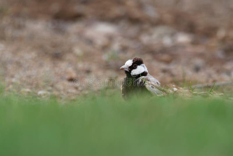 Gorrión-alondra Negro-coronada - nigriceps de Eremopterix en el desierto de la boa Vista imágenes de archivo libres de regalías