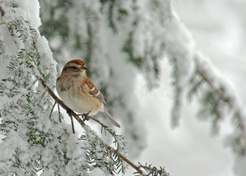 Gorrión de árbol en tormenta de la nieve imagenes de archivo