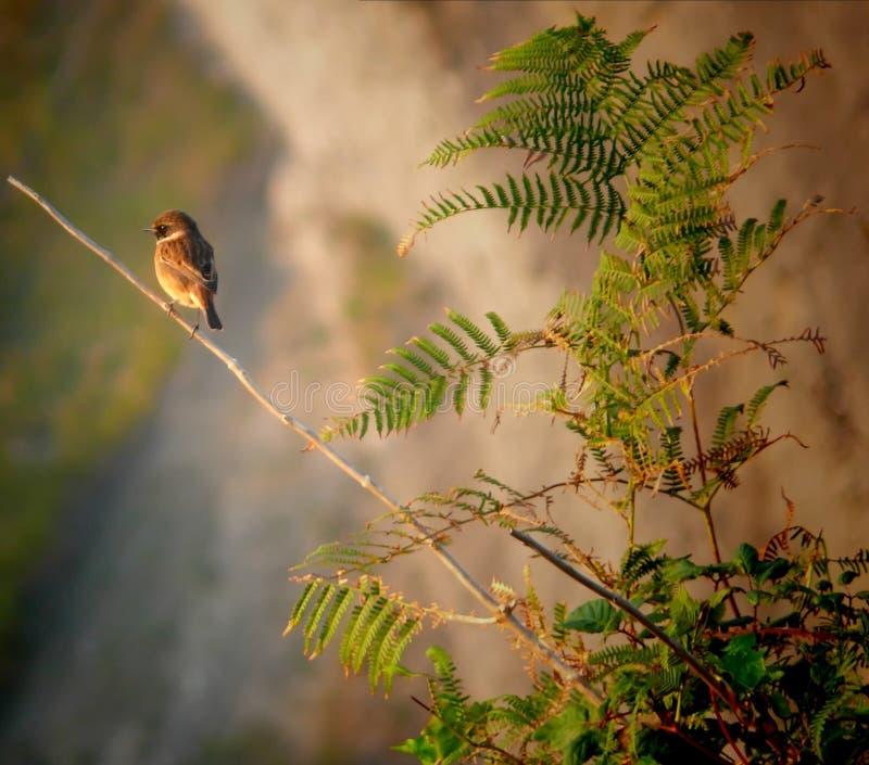 Gorrión de árbol eurasiático (montanus del transeúnte) sobre rama fotos de archivo