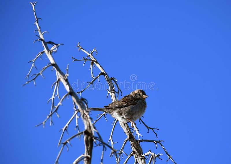 Gorrión de casa en rama contra el cielo azul - domesticus del transeúnte foto de archivo