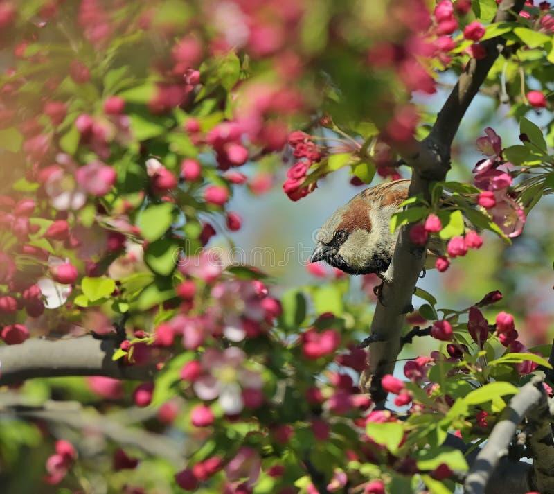 Gorrión de casa en un árbol floreciente del crabapple foto de archivo