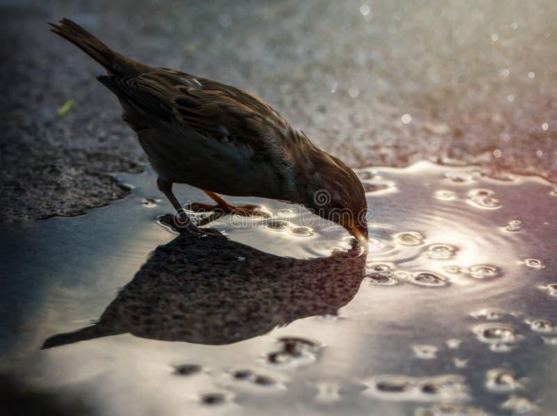 Gorrión de casa salvaje al aire libre en agua potable del otoño imagen de archivo libre de regalías