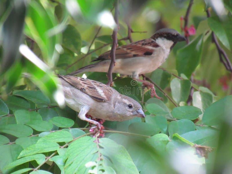 Gorrión de los pares encaramado en rama y x28; focus& delantero x29; foto de archivo libre de regalías