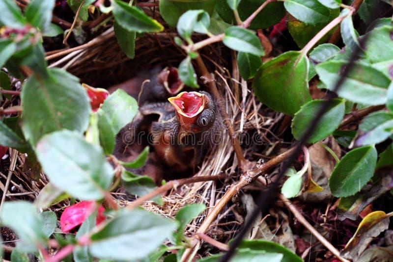 Download Gorrión Del Bebé En Una Jerarquía Imagen de archivo - Imagen de pájaros, pájaro: 41909675