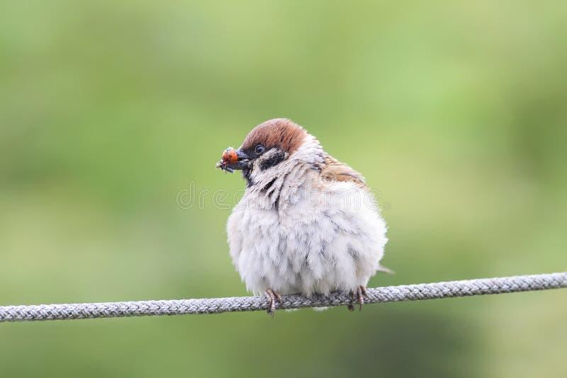 gorrión del pájaro que sienta en la cuerda con el suyo el pico por completo de mariquitas imagenes de archivo