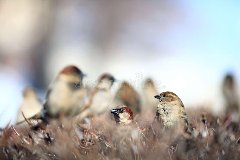 Gorrión en la zoología del invierno del ala de la fauna de los arbustos imágenes de archivo libres de regalías
