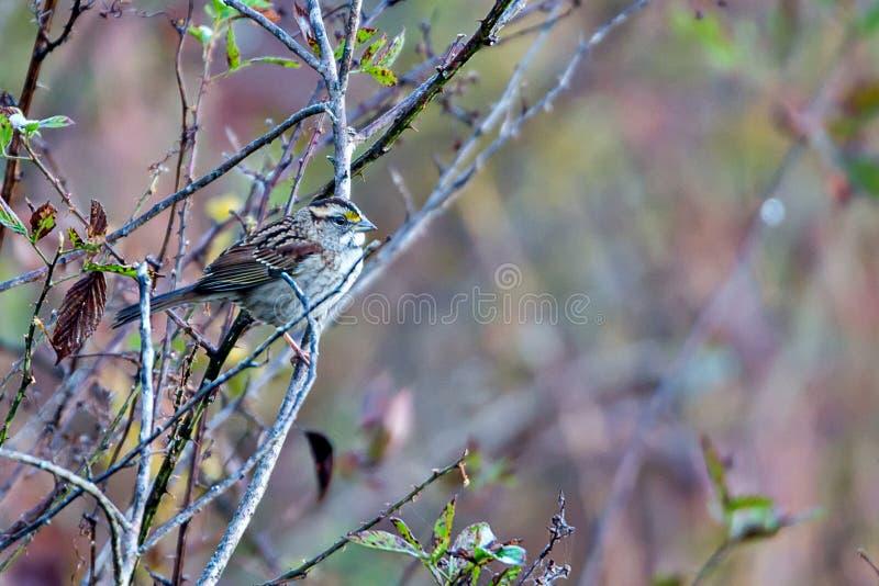 Gorrión en rama de árbol en arbustos fotos de archivo