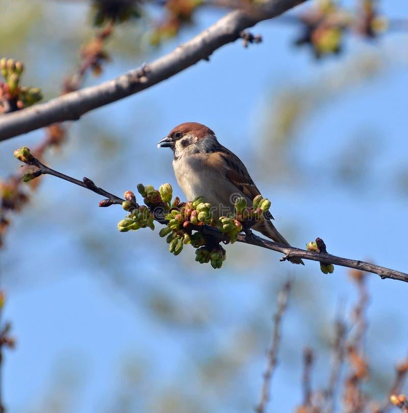 Gorrión en una rama de la primavera foto de archivo