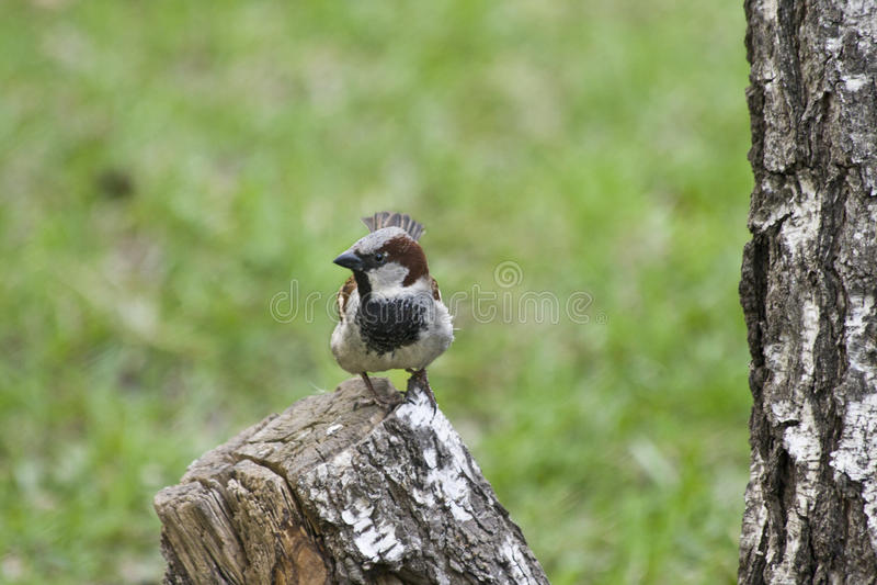 Gorrión lindo que se sienta en tocón de árbol en un fondo de prados verdes fotografía de archivo