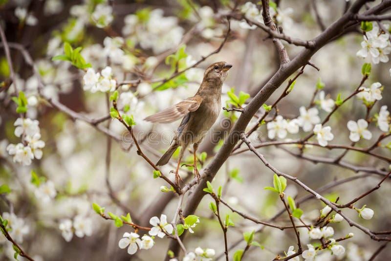 Gorrión que se sienta en un árbol floreciente, gorrión en la primavera Gard imagenes de archivo
