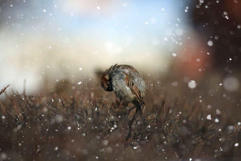Gorrión y rama, un pequeño pájaro en la nieve, tiempo, viento stock de ilustración